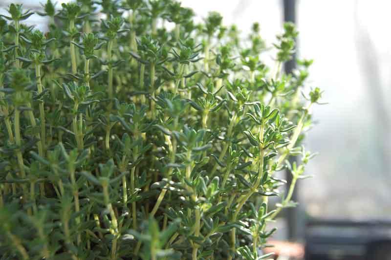 thymian mediterrane kr uter pflanzenvermehrung. Black Bedroom Furniture Sets. Home Design Ideas