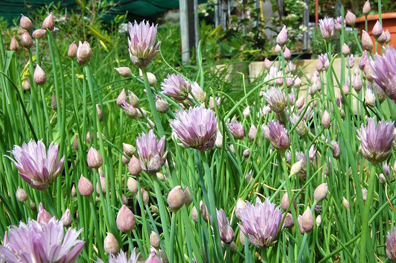 Allium-Riesenschnittlauch
