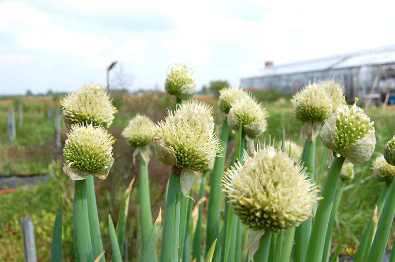 Allium-Winterhecke