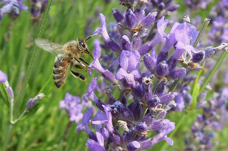 Biene-an-Lavendel