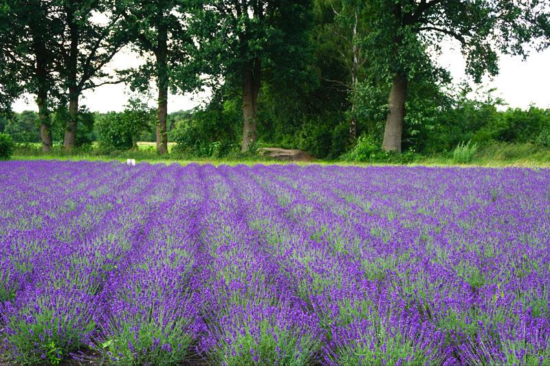 Lavendelfeld-Deutschland