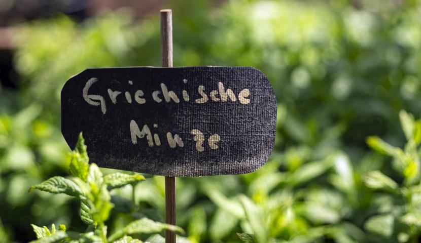 Griechische Minze in der Gärtnerei