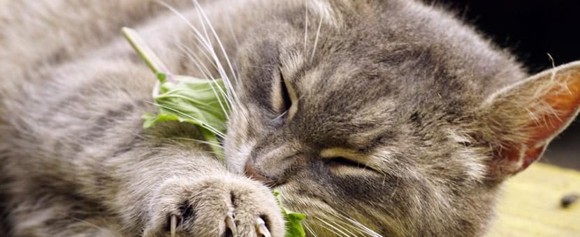 Katze knabbert an Blatt