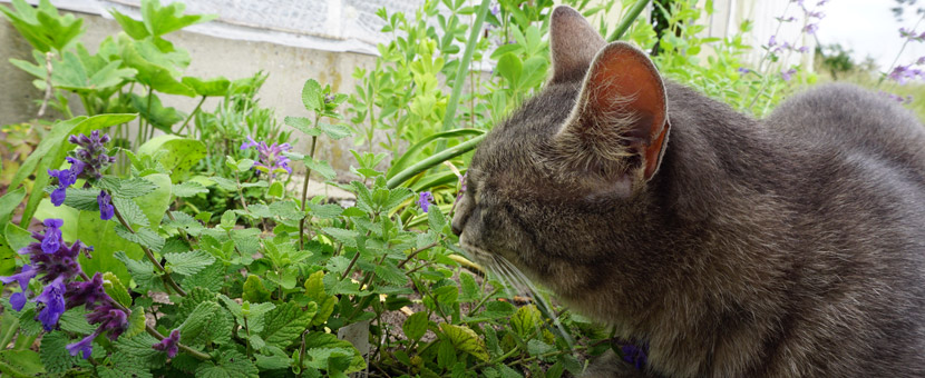 Katze schnuppert an Katzenminze