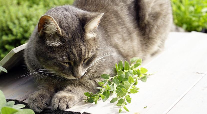 Miezekatze mit Katzenminze