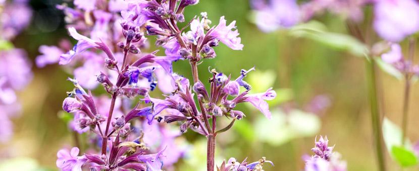 Katzenminze Wild Cat Blüte