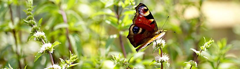Minze mit Schmetterling