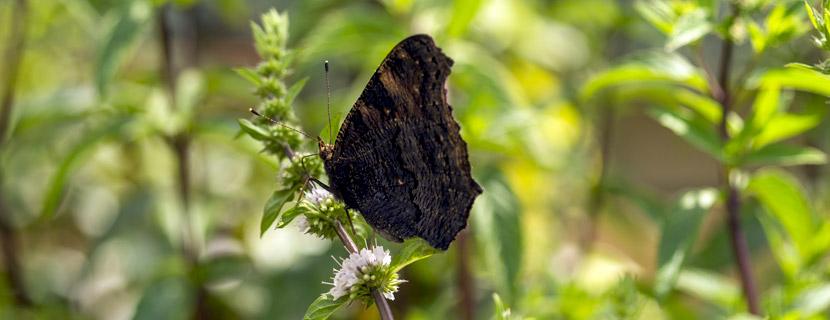Schmetterling an Minzeblüte