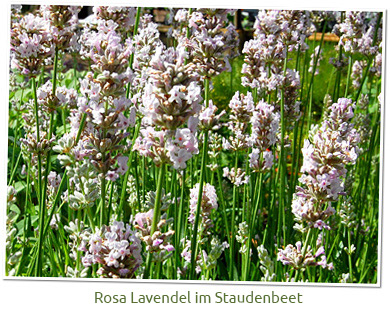 lavendel 39 miss katherine 39 lavandula angustifolia g rtnerei gartenrot. Black Bedroom Furniture Sets. Home Design Ideas
