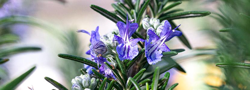 Rosmarin Boule Blüten