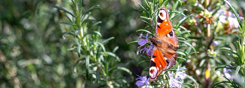 Schmetterling an Rosmarin-Blüte