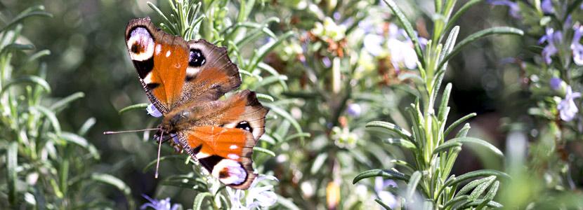 Schmetterling an Backnang