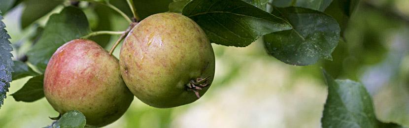 Wildapfel-Früchte im September