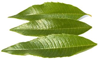 Zitronenverbene Blätter