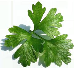 glatte petersilie laura petroselinum crispum samen g rtnerei gartenrot. Black Bedroom Furniture Sets. Home Design Ideas