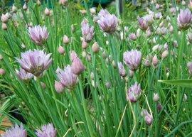 Altai-Riesenschnittlauch (Pflanze)