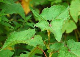 Ausdauernder Buchweizen (Pflanze)