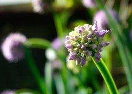 Ausdauernder Lauch (Pflanze)