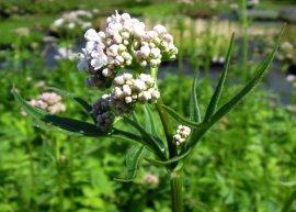 Baldrian (Pflanze)