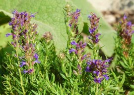 Bergysop (Pflanze)