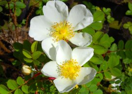 Bibernellrose (Pflanze)