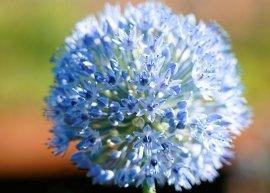 Blaulauch, Sibirischer Enzianlauch (Pflanze)