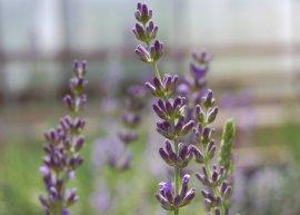 Provence-Lavendel 'Bleu des Collines' (Pflanze)