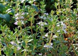 Buschthymian (Pflanze)