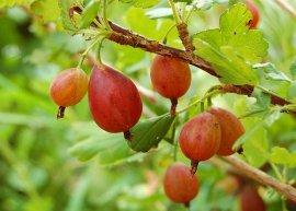Rote Stachelbeere, stachelarm (Pflanze)