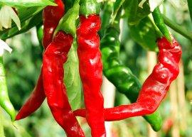 Chili Cayenne (Saatgut)