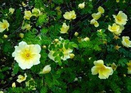 Chinesische Goldrose (Pflanze)
