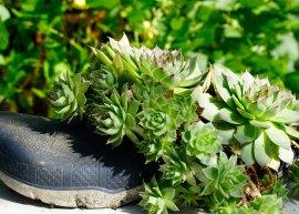 Dachwurz, Hauswurz (Pflanze)