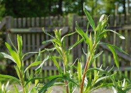 Estragon, französischer (Pflanze)