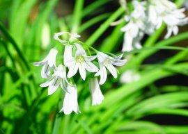 Glöckchenlauch (Pflanze)