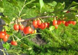 Goji-Beere (Pflanze)