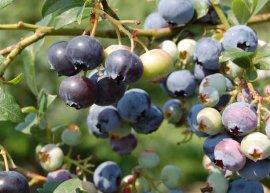 Heidelbeere, frühtragend (Pflanze)