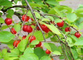 Japanische Mandelkirsche (Pflanze)