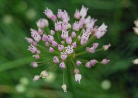 Kantenlauch (Pflanze)