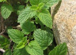 Kreta-Melisse (Pflanze)