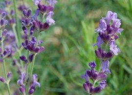 Provence-Lavendel 'Fragrant Memories' (Pflanze)