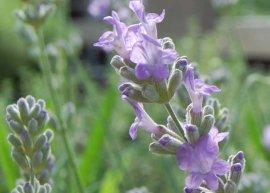 Lavendel 'Melissa Lilac' (Pflanze)