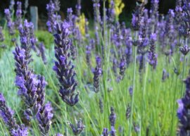 Provence-Lavendel 'Pierre Grosso' (Pflanze)