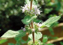 Lavendelminze (Pflanze)