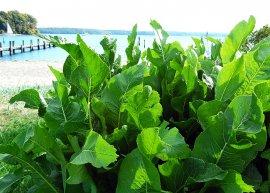 Meerrettich (Pflanze)