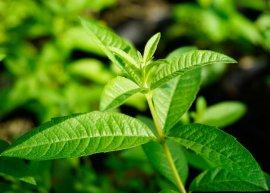 Minzverbene (Pflanze)