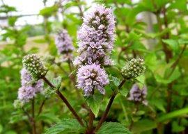 Thüringer Pfefferminze 'Multimentha' (Pflanze)