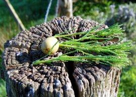 Olivenkraut (Pflanze)