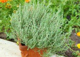 Orangenthymian (Pflanze)