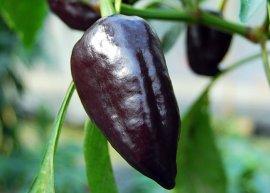 Paprika Nocturne (Saatgut)