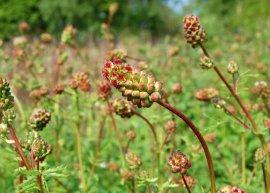 Pimpinelle - Kleiner Wiesenknopf (Pflanze)